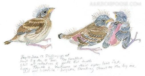 babybirds-housefinches