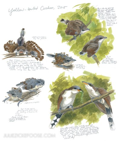 babybirds-yellowbilledcuckoo